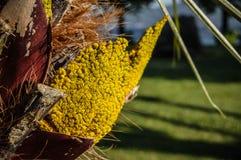 Gelbe Details einer Palmenfrucht Stockfotografie