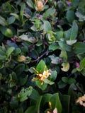 Gelbe Dschungelflammenblumen lizenzfreies stockbild