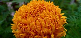 Gelbe Dunkelheit des Zinnia stockfotos