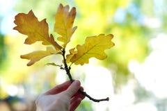 Gelbe Eiche verlässt in einer Hand, Herbstsaison Stockbilder