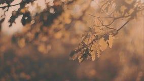 Gelbe Eiche verlässt Sonnenuntergang Herbstlandschaft, sonnig Bäume im Park stock video footage