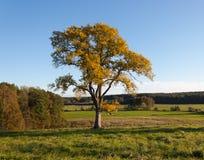 Gelbe Eichen-Baum Stockfotos
