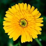 Gelbe einzelne Gänseblümchenblumennahaufnahme, natürlicher Hintergrund Lizenzfreie Stockfotografie