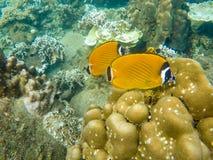 Gelbe Engelsfische Unterwasser Lizenzfreies Stockbild