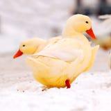 Gelbe Enten im Schnee Stockbilder