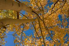 Gelbe Espen und Himmel Stockfoto