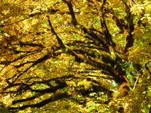 Gelbe Fall-Farbe des großen Blatt-Ahorns Stockfotografie