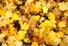 Gelbe Fall-Platanen-Blätter Stockbild