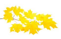 Gelbe Fallblätter eines Zuckerahorns Stockfotos