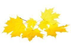 Gelbe Fallblätter eines Zuckerahorns Stockbilder