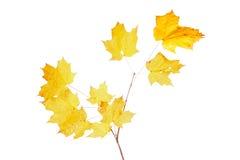 Gelbe Fallblätter eines Zuckerahorns Stockbild