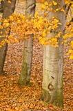 Gelbe Fallblätter und -bäume Stockbild
