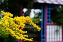 Gelbe Farbe des Solidago auf den Hintergrund Gazebos Stockbild