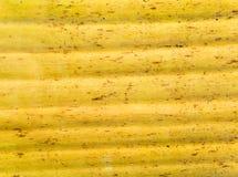 Gelbe Farbe und Beschaffenheit von alten Blättern der Bananenstaude Stockbilder