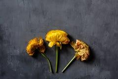 Gelbe Farbe von drei Blumen, die auf grauem konkretem Hintergrund liegt Flache Lage Beschneidungspfad eingeschlossen Kopieren Sie lizenzfreie stockfotografie