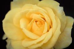 Gelbe Farbrose Stockbild