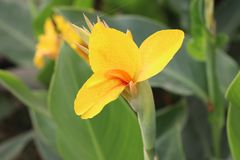 Gelbe Farbschöne Blume in der Natur stockbild