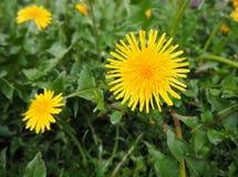 Gelbe farfara Blume im Garten nach dem Regen lizenzfreies stockfoto