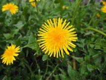 Gelbe farfara Tussilagoblume im Garten stockbild