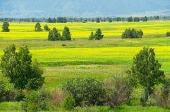 Gelbe Felder und Bäume. Lizenzfreies Stockbild
