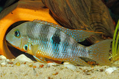Gelbe Feuer-Mund Thorichthys-affinis lizenzfreie stockbilder