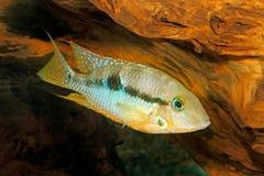 Gelbe Feuer-Mund Thorichthys-affinis stockbild