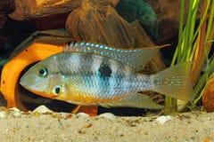 Gelbe Feuer-Mund Thorichthys-affinis lizenzfreies stockbild