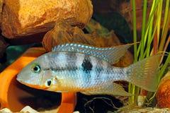 Gelbe Feuer-Mund Thorichthys-affinis lizenzfreies stockfoto