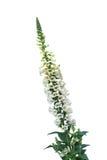 Gelbe Fingerhut-Blume Stockbild