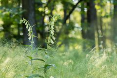 Gelbe Fingerhut-Fingerhutgrandifloraim frühjahr Wald Stockbild