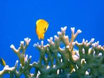 Gelbe Fische Lizenzfreie Stockfotografie