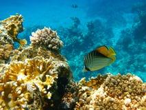 Gelbe Fische Lizenzfreie Stockfotos