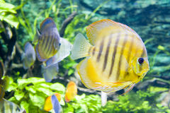 Gelbe Fische Stockfotos