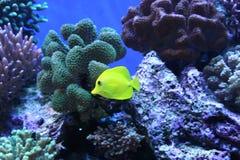 Gelbe Fische in Acquarium Stockbild