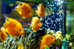 Gelbe Fische im Aquarium lizenzfreie stockbilder