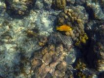 Gelbe Fische im Korallenriff, gelber Wrasse in den Korallen, Lizenzfreie Stockfotografie