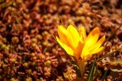 Gelbe Flammenblumeblumen auf einem braunen Hintergrund Stockfotografie