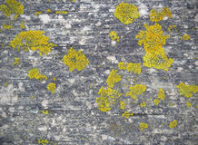 Gelbe Flechte auf hölzernem Brett Stockfoto