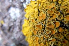 Gelbe Flechte ist dem Pilz in der linearen Wiedergabe sehr ähnlich Stockfotografie