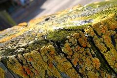 Gelbe Flechten auf Holz Stockfotografie