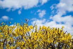 Gelbe Forsythias unter einem blauen Himmel mit geschwollenen Wolken Stockbild