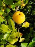 Gelbe Früchte der Girlande der japanischen Quitte auf Niederlassungen eines Busches Stockfoto