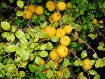 Gelbe Früchte der Girlande der japanischen Quitte auf Niederlassungen eines Busches Stockbilder