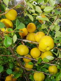 Gelbe Früchte der Girlande der japanischen Quitte auf Niederlassungen eines Busches Stockfotografie