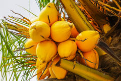 Gelbe Früchte der Papaya auf dem Papayabaum tropisch Stockfotografie