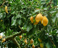 Gelbe Früchte in Uganda lizenzfreies stockfoto