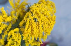 Gelbe Frühling Mimosen auf einem blauen Hintergrund Lizenzfreie Stockfotos