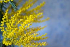 Gelbe Frühling Mimosen auf einem blauen Hintergrund Stockbild
