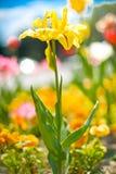 Gelbe Frühlings-Blume Stockfoto