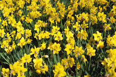 Gelbe Frühlings-Narzissen Stockfotografie
